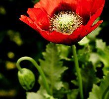Wild poppy red by Pat Shawyer