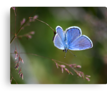 A Little Blue Canvas Print