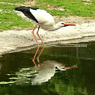 Drinking stork by steppeland