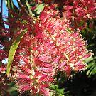 Melaleuca hypericifolia (Red Flowering Paperbark) by 4spotmore