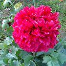 Blooming Poppy  by David A. Everitt (aka silverstrummer)