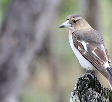 Pied Butcherbird - Juvenile by Veilstreasures