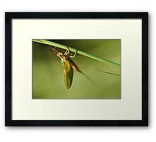 Ephemeroptera Mayfly Macro Framed Print