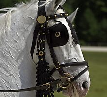 Lipica horse by Beauty Vault Photo