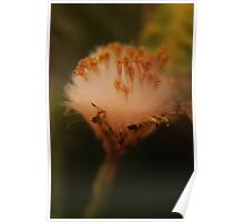 Fluffy (from wild flowers collection) Poster