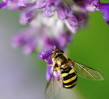 Little Hoverfly by twofeetphoto