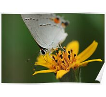 Hairstreak Butterfly Macro Poster