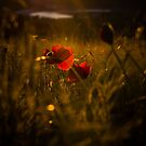 Sunset Poppey! by David  Howarth