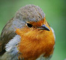 European Robin by DanRedrup