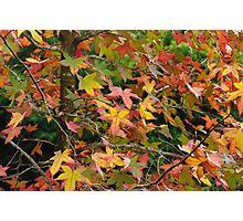 flame tree Photographic Print