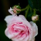 rose bud by Ilva Beretta