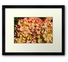 Pink and Cream Hydrangea Flowers Framed Print