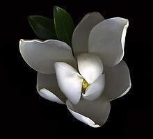 Magnolia by scankunst