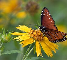 Monarch butterfly in Guadalupe State Park by Robert Kelch, M.D.