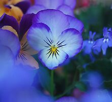 pansies by JenniferJW