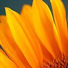 Sunflower by Sharon Ulrich