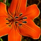 Orange Lily by Trevor Kersley