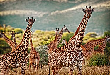 Giraffe Duo by Scott Ward