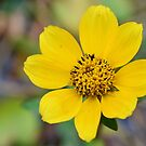 Mexican Sunflower by ©Dawne M. Dunton
