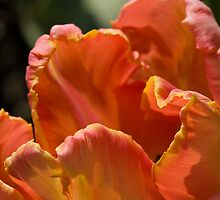 Parrot Tulip by Juliet Chase