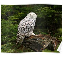 The Snowy Owl Poster