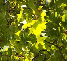 Leaves alight by Lynelle