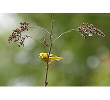 A Male Yellow Warbler Photographic Print