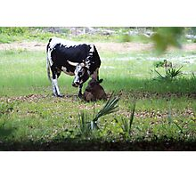 The Father's Day Cows Photographic Print