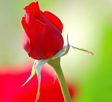 Rose- Symbol & Expression of Love by Mukesh Srivastava