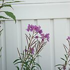 Fireweed by dixiemorgan