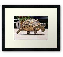 Baby Tortoise ....Hup two three four..... Framed Print