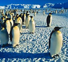 Emperor Penguins, Auster Rookery, Antarctica by Andy Townsend