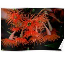 Mallee Flowers, Tasmania Poster