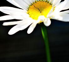 Sunny daisy by Pat Shawyer