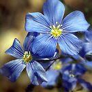 Blue Velvet by Sean Jansen