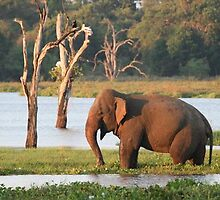 An Elephant in Sri Lanka. by Harsha