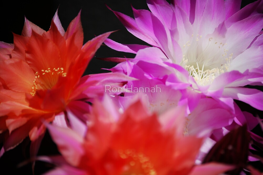 Echinopsis In The Sun by Ron Hannah