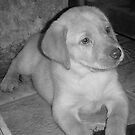 Yellow to B&W Labrador by tawaslake