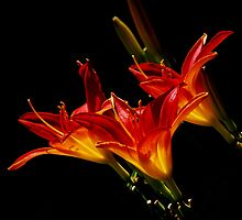 Fire Lillies by jphall