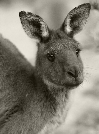 Kangaroo at Warrawong Sanctuary South Australia by PETER CULLEY