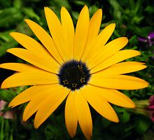 Oh yellow daisy by Meagan Langlois