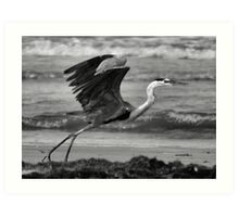 Great Blue in Flight Art Print