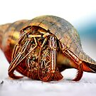The Hermit Crab 2 by Serinidia