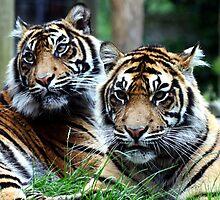 Sumatran Tigers by Wayne Gerard Trotman