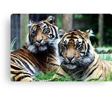 Sumatran Tigers Canvas Print