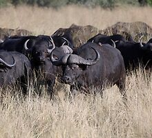 Cape buffalos in Long grass by nymphalid