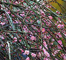 Cherry Blossom Tree by Bev Pascoe