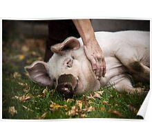 Playful Pig Poster
