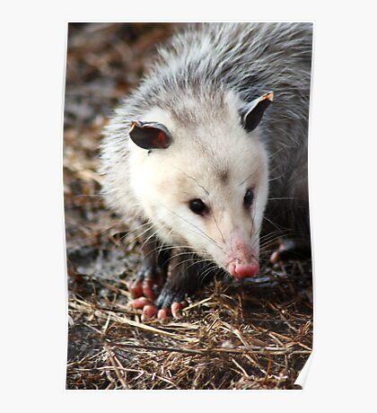 Sniffing Possum Poster