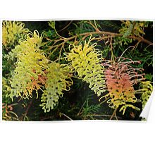 "Grevillea ""Peaches and Cream"" Poster"